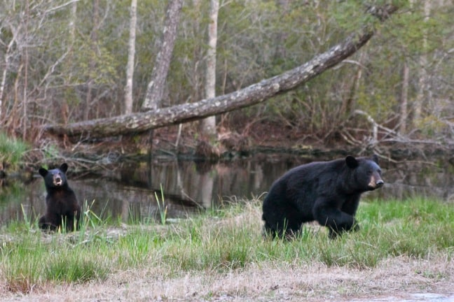 Mama Black Bear & Cub in Alligator River National Wildlife Refuge