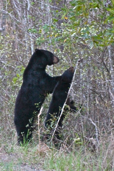 Mama & Baby Black Bear in Alligator River National Wildlife Refuge