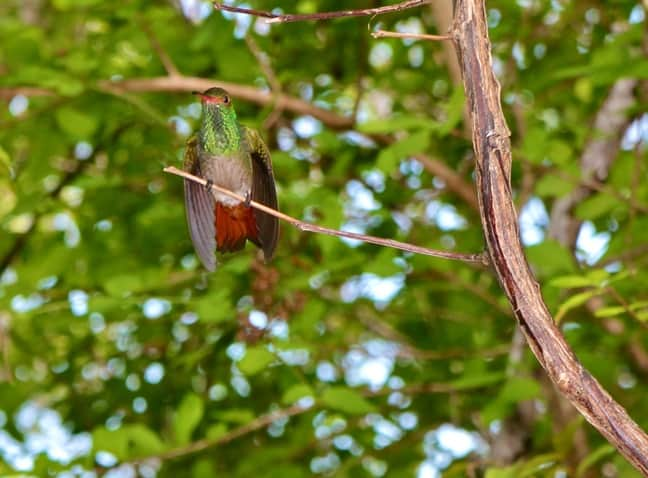 Hummingbird in Panama