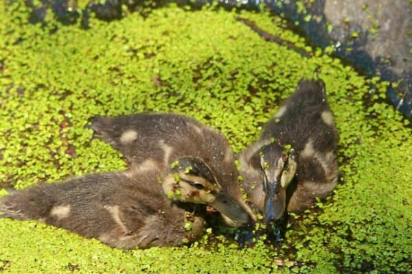 Baby_Ducks_Central_Park_Turtle_Pond