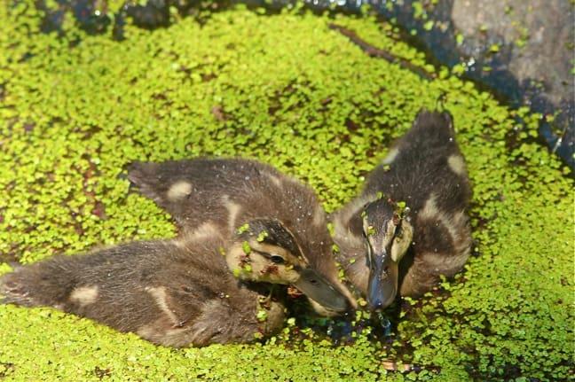 Baby_Ducks_Central_Park_Turtle_Pond