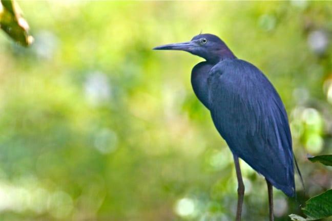 Green Heron in the Térraba-Sierpe National Wetlands, Costa Rica