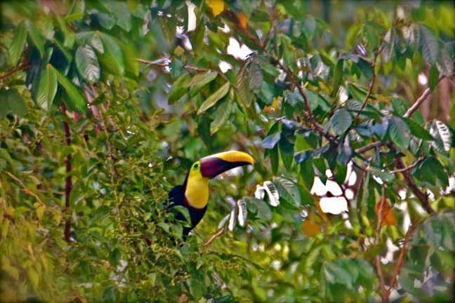 Things to do in Costa Rica -Watch wildlife like this Chestnut Mandibled Toucan