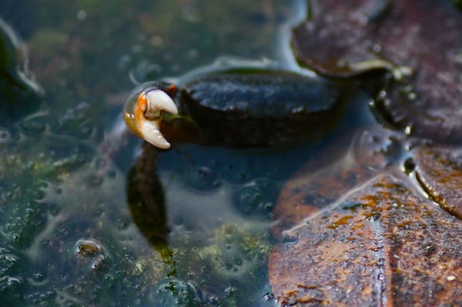 Blue Crab in J.N. Ding Darling National Wildlife Refuge