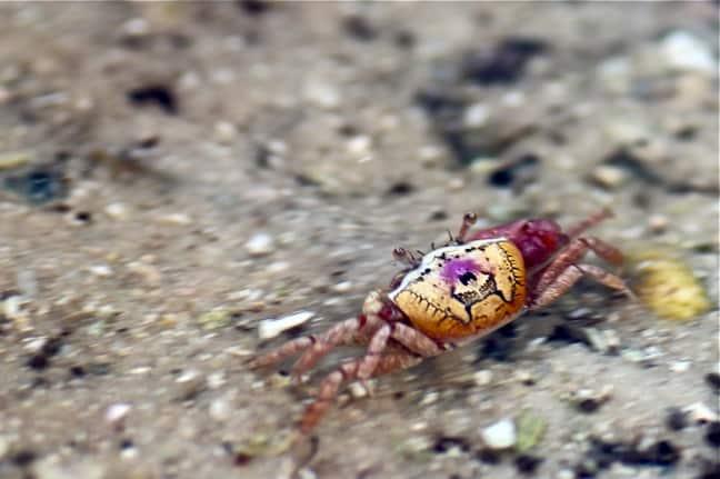 Fiddler Crab in J.N. Ding Darling National Wildlife Refuge