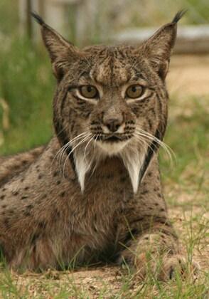 Iberian Lynx, Spain