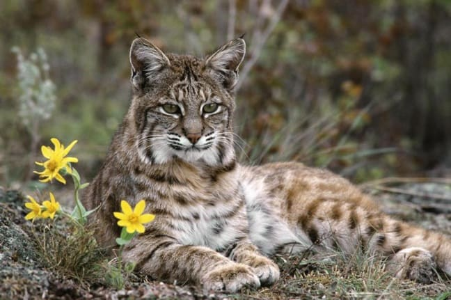 Iberian_Lynx_europe_endangered_species_facts