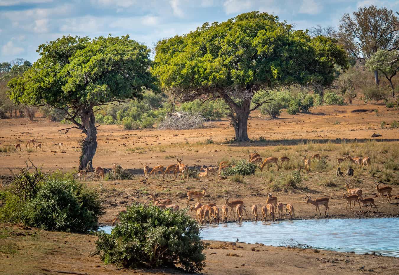 Impalas in Kruger National Park