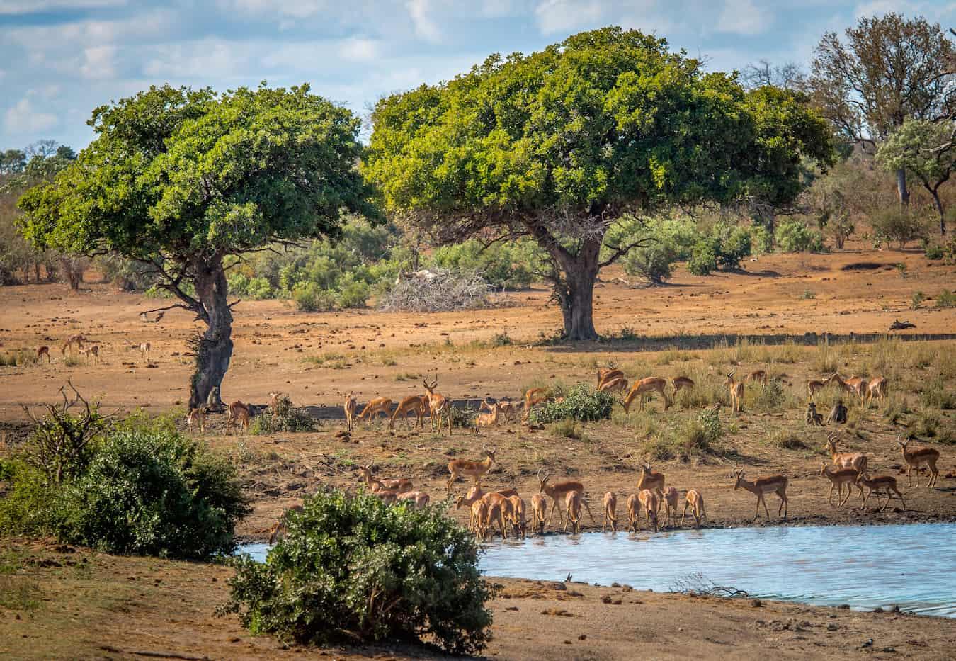 Impalas in Kruger National Park