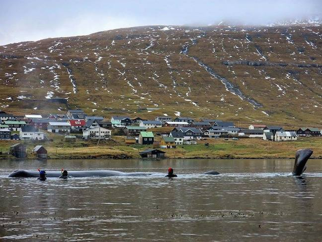 Faroe_Islands_Whale_rescue