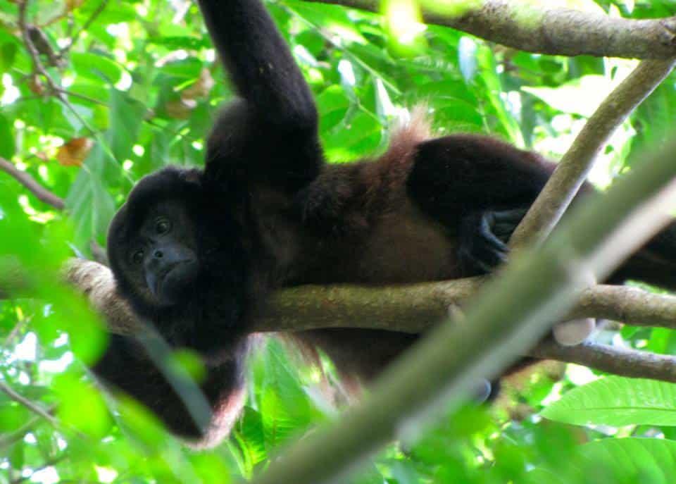 Howler Monkey on Isla de Ometepe Nicaragua