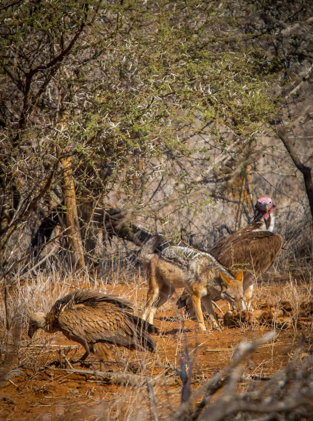 Black Backed Jackal & Vultures sharing a meal