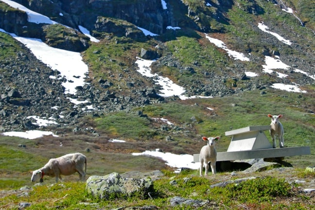 A Family of Sheep in Jotunheimen, Norway