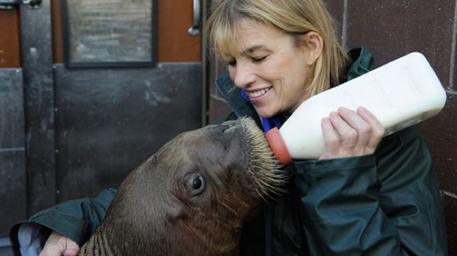 New York Aquarium Staffer Feeding Orphaned Walrus Mitik