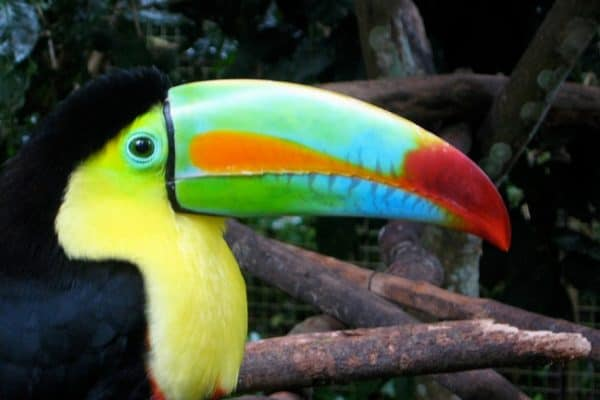 Keel-billed Toucan at Macaw_mountain, Honduras