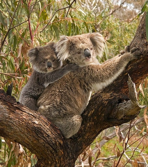 Koala and Joey in Australia