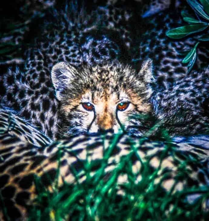 Kruger National Park Baby Cheetah