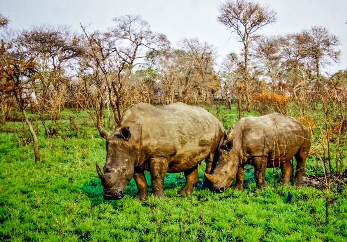 Rhinos in Kruger National Park