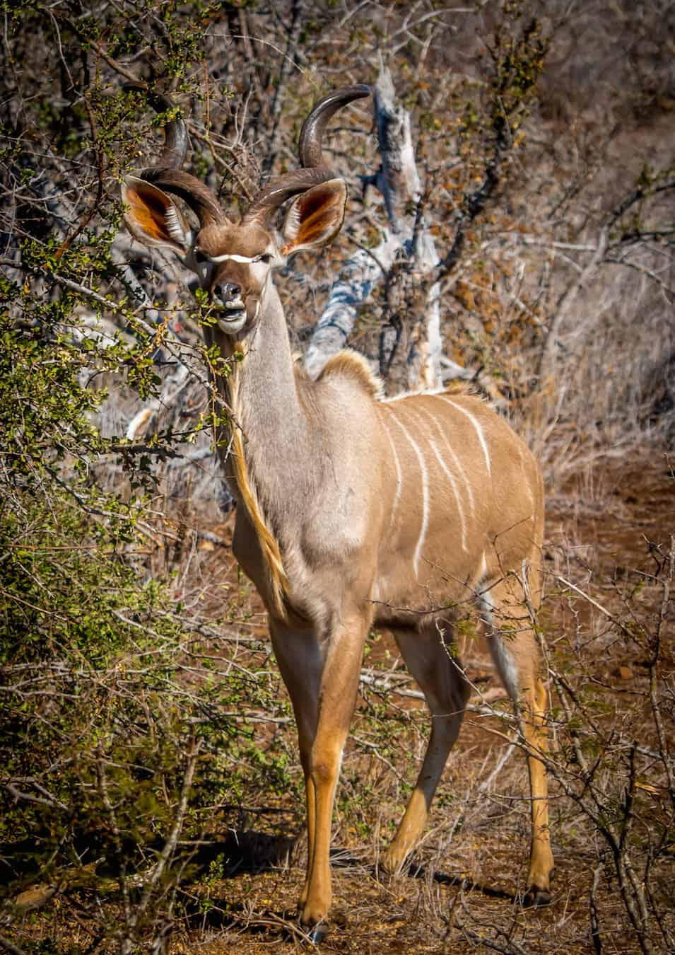 Male Kudu, official mascot for South Africa National Parks
