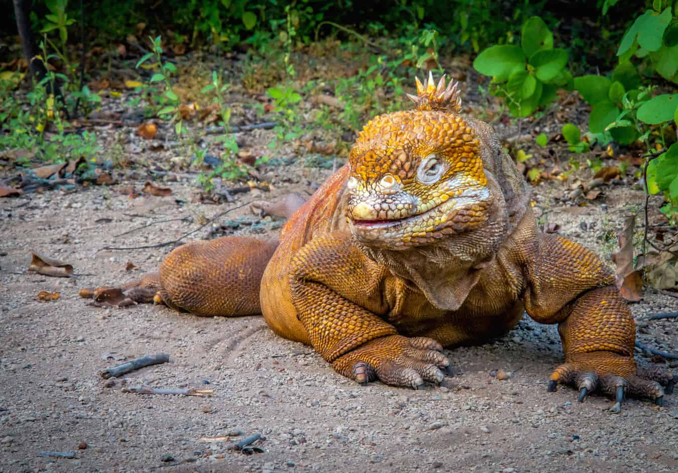 Land Iguana on Isabela Island, Galapagos
