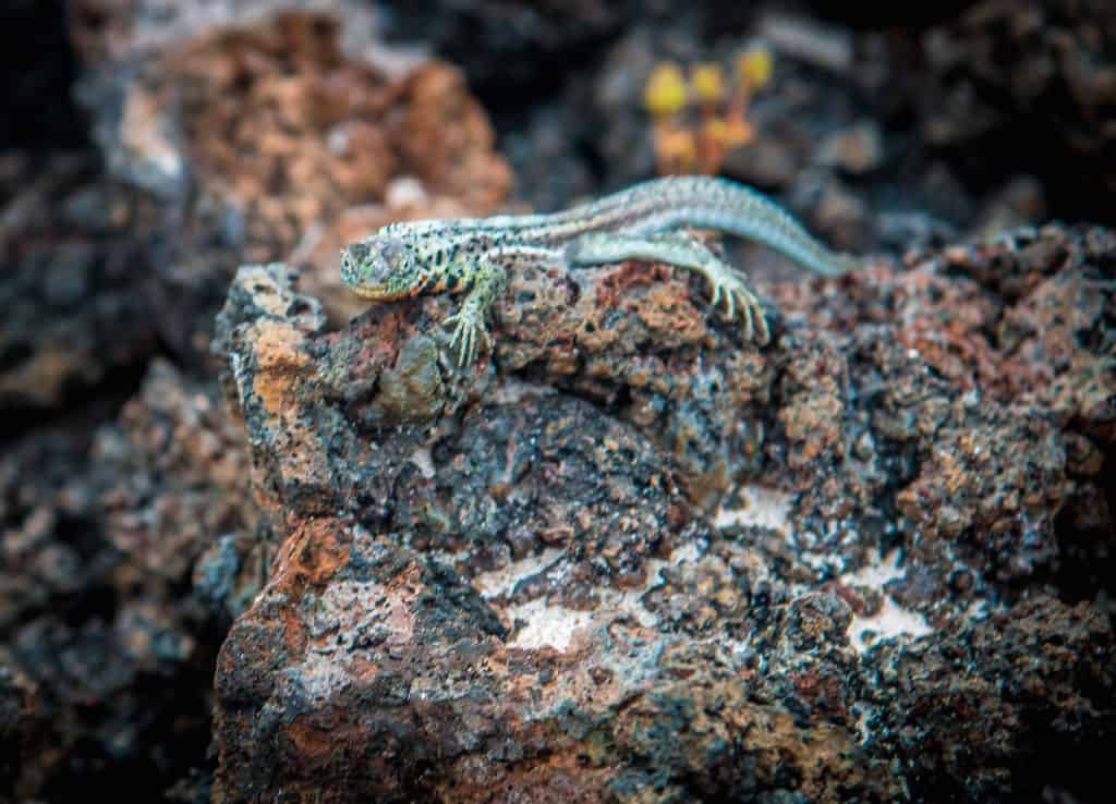 Galapagos Islands Lizards: Lava Lizard