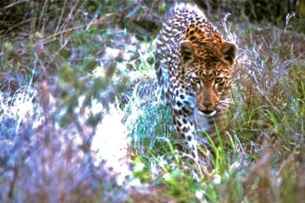 South Africa Safari- Londolozi Private Game Reserve
