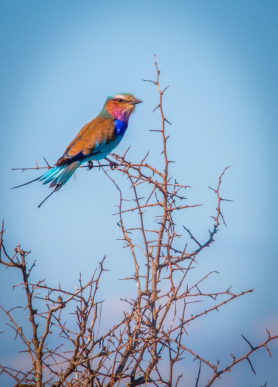 Lilac Breasted Roller in Kruger National Park