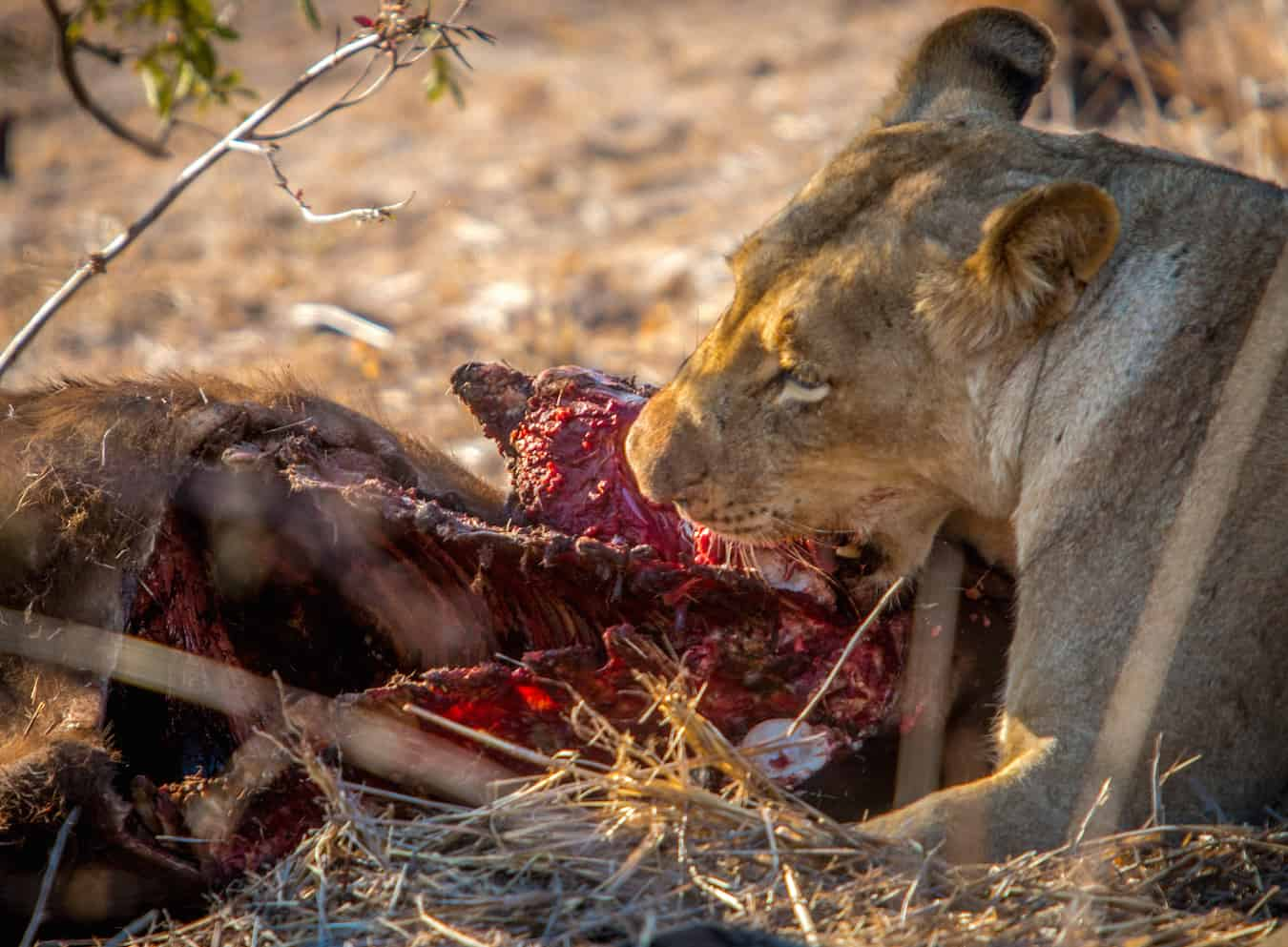 Lioness Devouring Buffalo in Kruger National Park