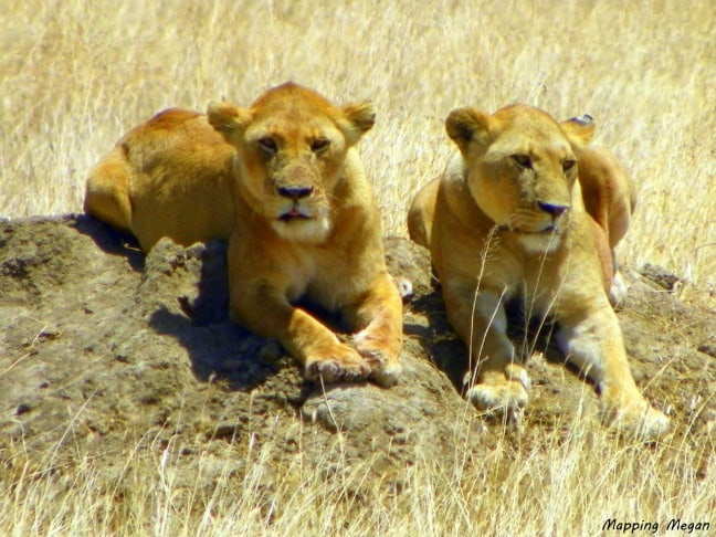 Two Lioness keeping watch