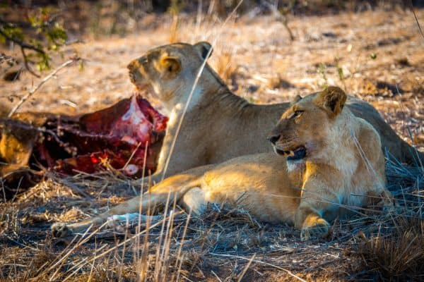 Lionesses in Kruger National Park, South Africa