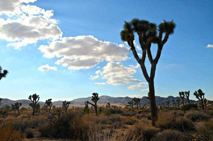 National Parks in CA -Joshua Tree National Park