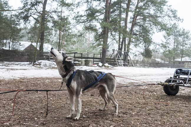 Lithuania-Dog-Sledding-Call-to-Arms