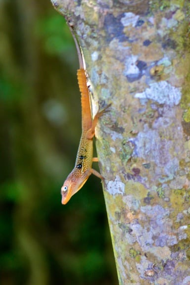 Lizard_Dominica