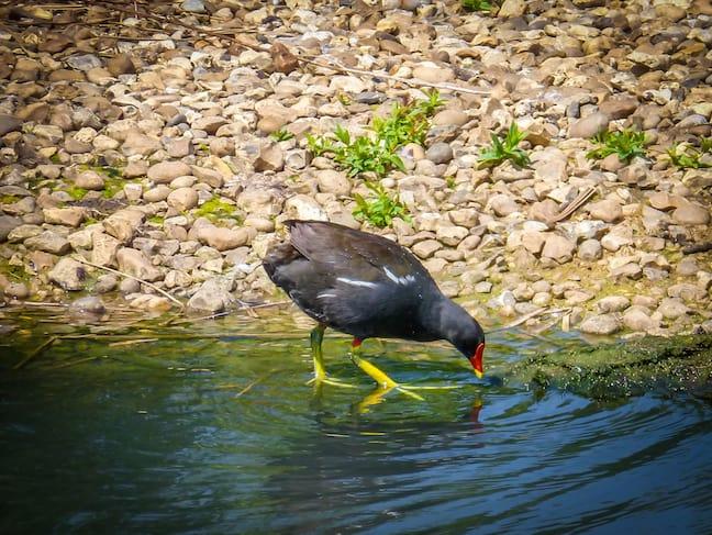 London_Wetlands_Centre_European_Coot_Kathryn_Roark