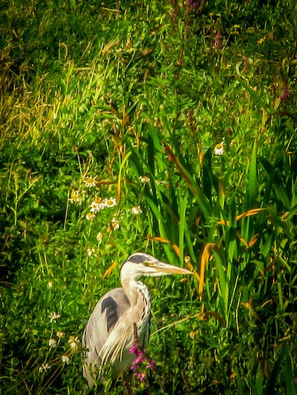 Grey Heron at London Wetland Centre