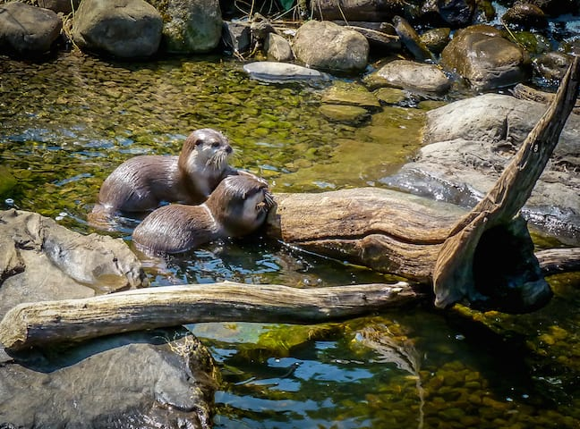 Asian Short Clawed Otters at London Wetland Centre