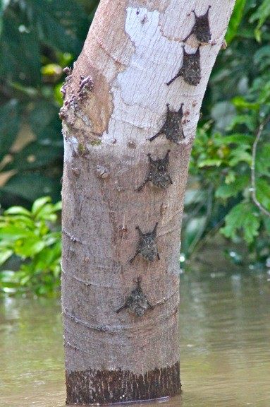 Long Nosed Bats amazon