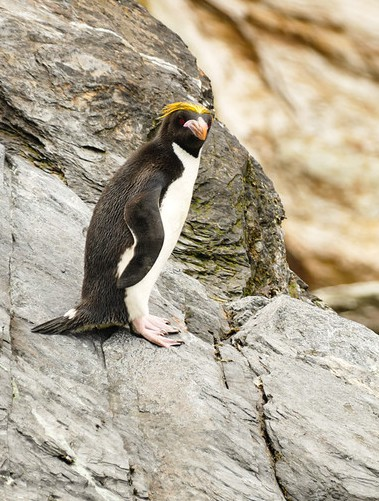 Macaroni Penguin in Cooper Bay on South Georgia Island