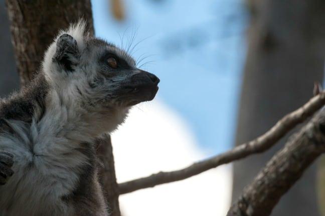 Madagascar King Julien Ringtail Lookin Up II