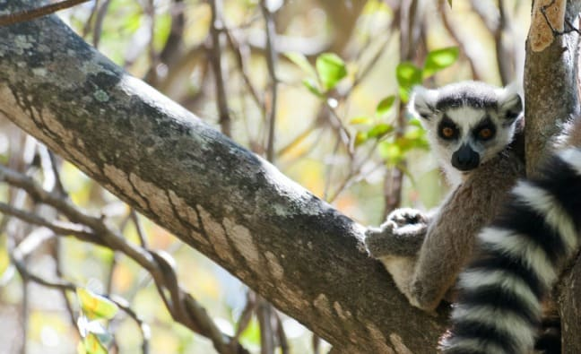 Madagascar King Julien Ringtail Resting