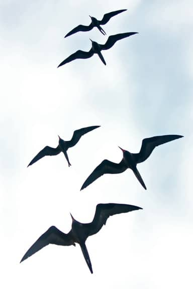 Galapagos Birds: A flock of Frigates soars on the updraft from our ship.