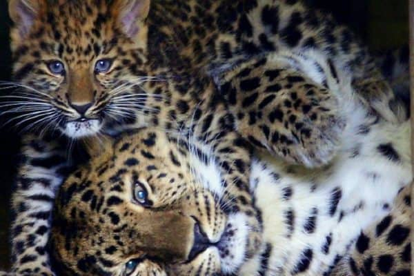 ECO NEWS: Russia Establishes National Park to Save Amur Leopards