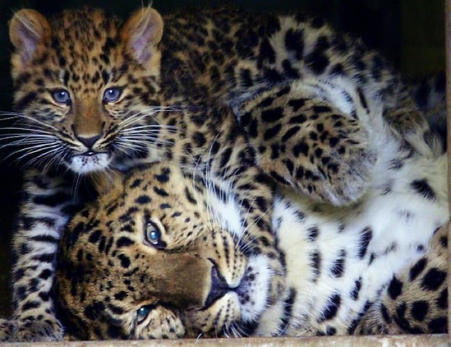 Amur Leapoards Mama & Baby