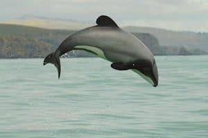 Maui Dolphin jumping