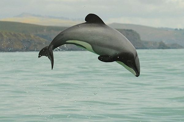 ENDANGERED SPECIES SPOTLIGHT: Maui Dolphin