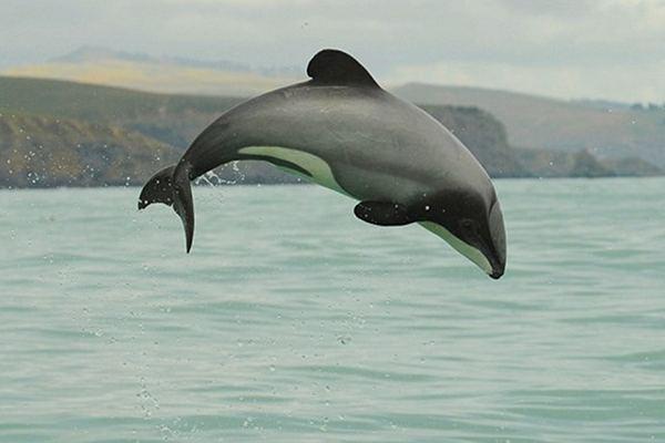 Maui Dolphin - Endangered Species Spotlight