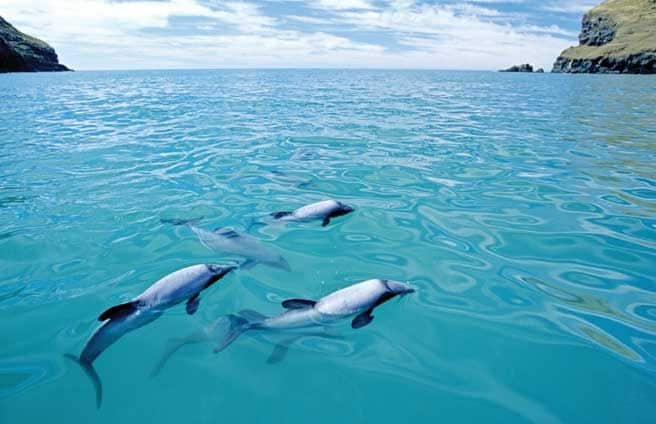 Maui Dolphin family pod