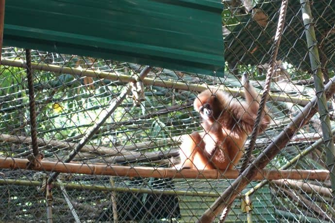 Rambo's companion: Female Gibbon missing a hand and foot, but safe