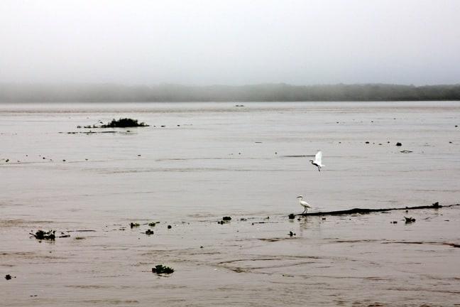Egrets in the Peruvian Amazon