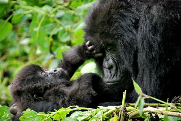 Mother & baby mountain gorillas in Volcanoes National Park, Rwanda by Carine06 via CC